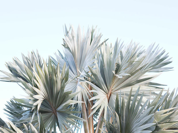 Debra Somerville Photo, Photography, Photographer, Southern Florida, Fine Art Botanicals, SILVER PALMS