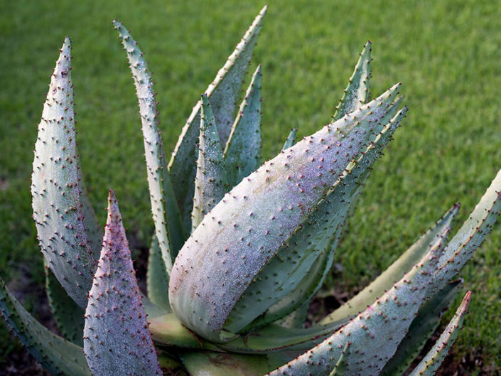 Debra Somerville Photo, Photography, Photographer, Southern Florida, Fine Art Botanicals, SUCCULENT